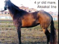 Gumara(Munir-Gulsara)aksakal line,breeder T.Pontecorvo in my opinion is the best daughter of Munir